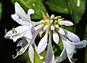 blessed hosta devotional 8-2015