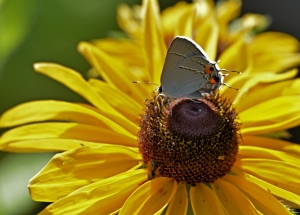 resting-on-sunflower