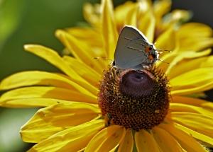 resting-on-sunflower